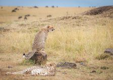 Coalition of cheetahs watching the wildebeest during the migration royalty free stock image