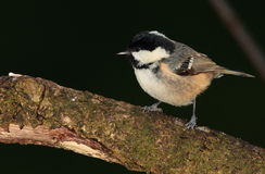 Coaltit bird. Stock Image