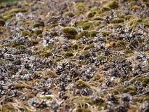 Coans сосны Стоковая Фотография