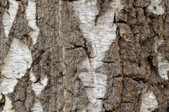 Coarse Birch Tree Bark Texture Background Royalty Free Stock Image