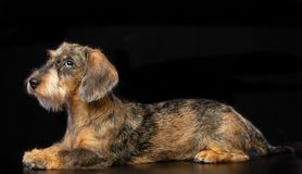 Coarse dachshund dog on Isolated Black Background stock image