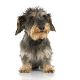 Coarse haired Dachshund Stock Photos