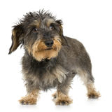 Coarse haired Dachshund Stock Photo