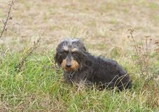 Coarse haired dachshund royalty free stock image