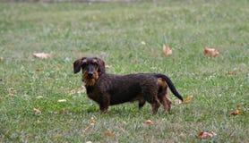 Coarse haired dachshund Stock Photo
