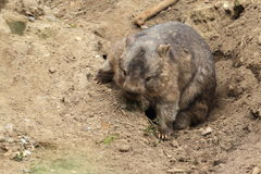 Coarse-haired wombat. Strollling on the soil ground Stock Photos