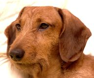 Coarse hired dachshund stock images