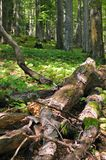 Coarse woody debris. Fallen dead trees on the ground are important part of forest ecosystem Stock Photography