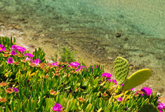 Coast of Aegean sea with blooming ice plants in Chalkidiki, Gree Royalty Free Stock Images