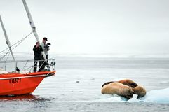 Walrus on an ice floe. Vessel of the Arctic expedition in the waters of the Arctic Ocean stock photography