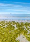 Coast of Baltic sea with green seaweeds. Estonia Stock Image