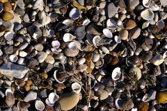 Coast, beach full of sea shells. Quite quality close up photo of various seashore shells and pebbles and some natural litter. You may see lots of shiny seashells royalty free stock photo
