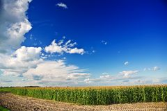 Coast of corn field Stock Images