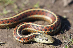 Coast Gartersnake close-up Stock Photo