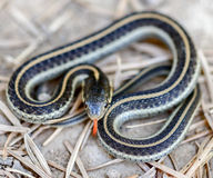 Coast Gartersnake - Thamnophis elegans terrestris Royalty Free Stock Photo