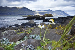 Coast in Iceland. Coastline in Djupivogur, Iceland with icelandic moss and lava formations Royalty Free Stock Images
