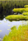 Coast of lake in summer. The small wood lake in bog area Stock Image
