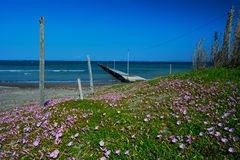 The Coast with  Many Sea Bindweeds-Calystegia soldanella Royalty Free Stock Photography