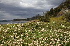 Coast in Patagonia, Chile. Flowers on the shoreline of Southern Chile Royalty Free Stock Photo