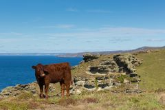 Coast path view North Cornwall on path from Tintagel to Boscastle with cow Royalty Free Stock Photography