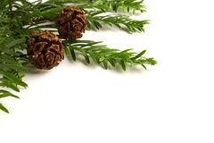 Coast Redwood needles and cones against a white background Royalty Free Stock Photos