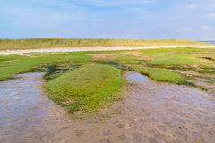 Coast with sandwort growing on mudflat and dune with grass, Neth Royalty Free Stock Image