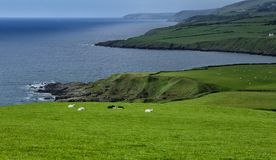 Coast with sheep Stock Photography
