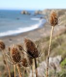 Coast Thistles. Dry thistles bask in the sunshine in front of a beach. Sonoma County, California, USA stock images