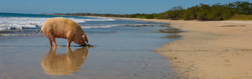 Coasta Rica świnia obrazy royalty free