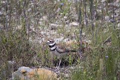 Coastal Bird: Killdeer. Photographed in Texas, this animal was seen foraging along the water's edge & surrounding lands. Identified by the double black neck band Stock Image