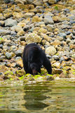 Coastal Black Bears Stock Photos