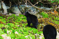 Coastal Black Bears Stock Photo