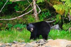 Coastal Black Bears Stock Photos