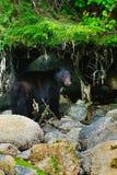 Coastal Black Bears Royalty Free Stock Images