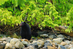 Coastal Black Bears Royalty Free Stock Photos