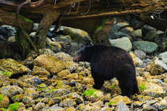 Coastal Black Bears Stock Image