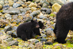 Coastal Black Bears Royalty Free Stock Image