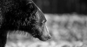 Coastal Brown Bear black and white. A huge Coastal Brown Bear lumbering along the beach in Geographic Harbor, Katmai National Park, Alaska. This black and white stock photo