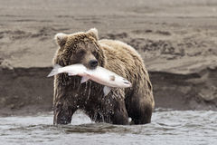 Coastal Brown Bear With Catch Stock Image