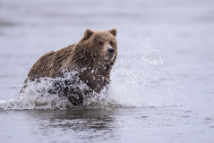 Coastal Brown Bear Chasing. A coastal brown bear chases salmon in a tidal pool at Lake Clark, NP Alaska Royalty Free Stock Photography
