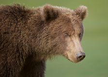 Coastal Brown Bear close-up stock photography