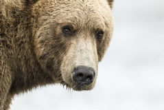 Coastal Brown Bear Closeup. Closeup of a coastal brown bear at Lake Clark NP, Alaska Stock Photography