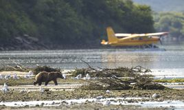 Coastal Brown Bear in front of airplane stock image