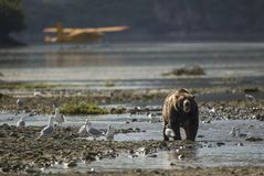 Coastal Brown Bear in front of airplane stock photo