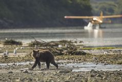 Coastal Brown Bear in front of airplane royalty free stock photography