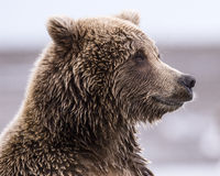 Coastal Brown Bear Profile. Close-up profile of a coastal brown bear at Lake Clark NP, Alaska Stock Images