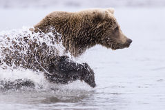Coastal Brown Bear Running. A coastal brown bear runs through a tidal pool chasing salmon at Lake Clark NP, Alaska Royalty Free Stock Photo