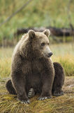 Coastal Brown Bear Royalty Free Stock Photography