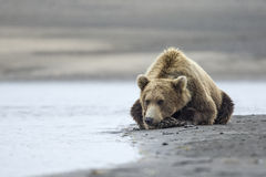 Coastal Brown Bear. A coastal brown bear waits patiently for salmon beside a tidal pool at Lake Clark NP, Alaska Stock Photography