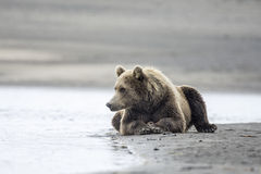 Coastal Brown Bear Watching. A coastal brown bear watches intently for salmon beside a tidal pool at Lake Clark, NP Alaska Stock Photo